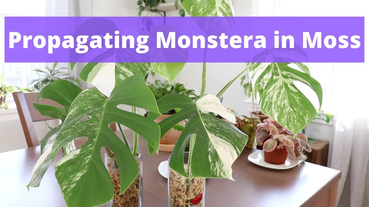 How To Propagate Monstera In Moss Simple And Easy Youtube