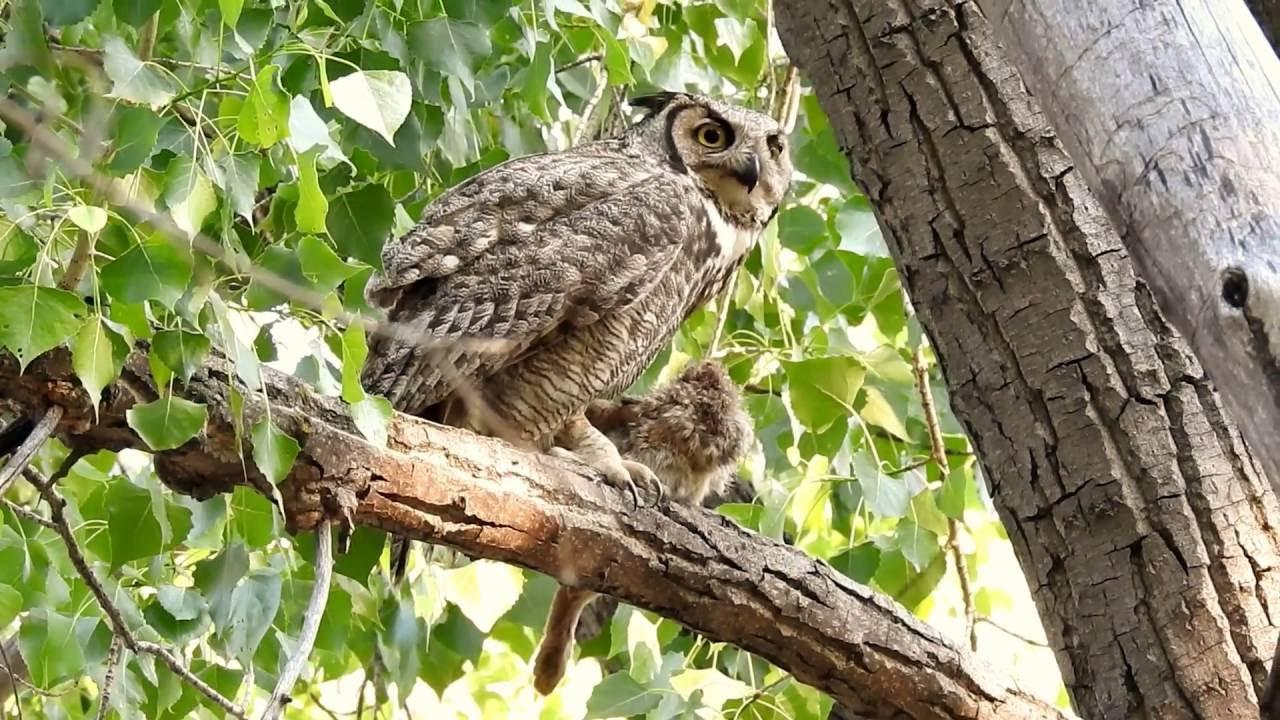 female great horned owl eating a rabbit youtube