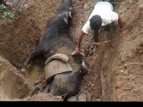 Buffalo  SAVED IN GORENTLA  IN NOOTHANKAL MANDAL   (TELANGANA STATE) (INDIA)