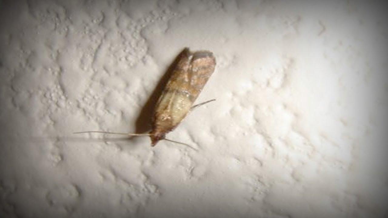 We Have A Moth Infestation 5 20 2017 You
