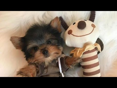 Cute puppies  Yorkies  funny puppy videos compilation 8 #cute #funny #puppies