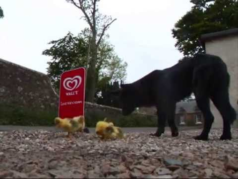 Orphaned Goslings adopted by a Cara the dog at Lunan Bay Farm, Filmed by PBM-Photo