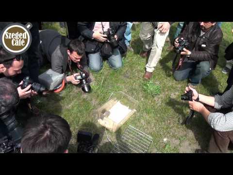 Kihalás fenyegeti a délvidéki földikutyát