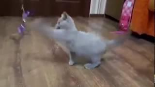 Лиловые британские котята. Игривый малыш!