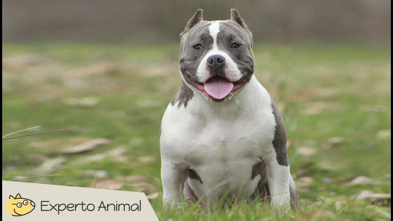 El perro american bully