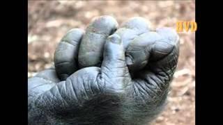 Historia combate Gorila vs Boxeador(evangelio valiente)