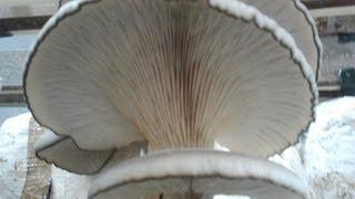 Зачем нужны грибы переростки (oyster mushrooms overripe)(наш сайт: http://sgrib.ru (cultivation and sale of oyster mushrooms) До какого размера нужно выращивать вешенки? Up to what size you need to grow..., 2014-06-26T08:29:52.000Z)