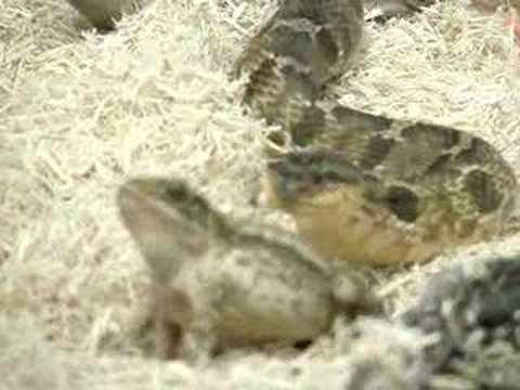 hognose vs toad