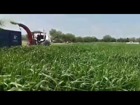 Pasto Mulato II para pastoreo, corte y heno en Apodaca Nuevo Leon TRES AÑOS DESPUES