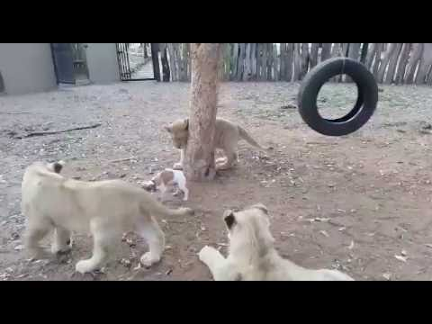 Jack Russell shows Lions who's boss