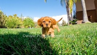 Reds The Stunning Ruby Cavalier King Charles Spaniel Male Puppy For Sale Near San Marcos, Ca.