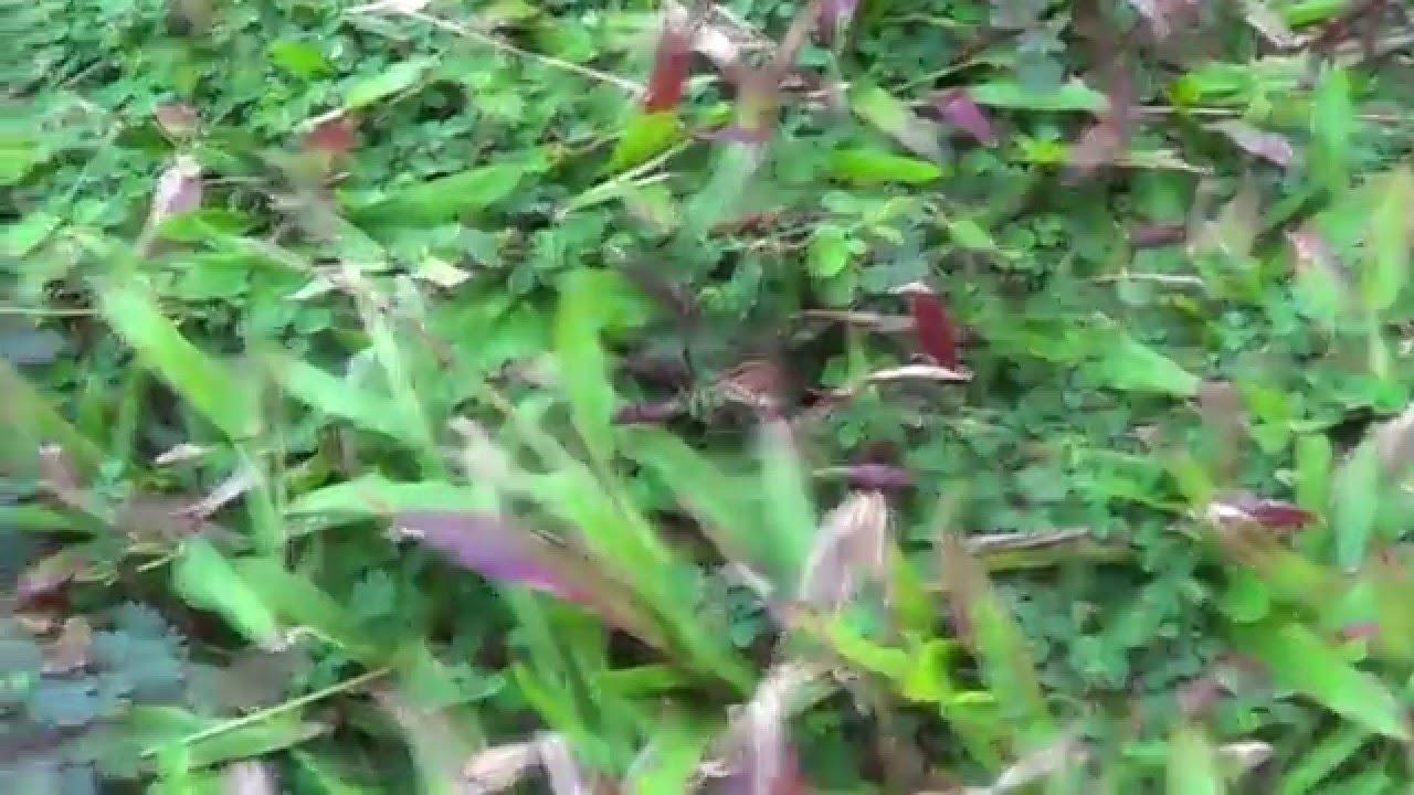 Обиженный цветок мимоза