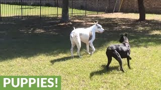 Puppy convinces senior Great Dane to play