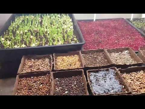 Microgreens And Australian Regulations