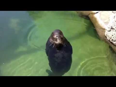 Spinning Hawaiian Monk Seal in Water