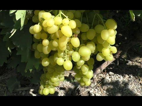 Сорта винограда 2020. Цимус - мускат номер один