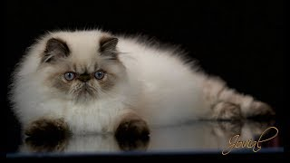 Jovial's Dash - Seal Lynx Point Male Himalayan Persian Kitten, 5 Months Old