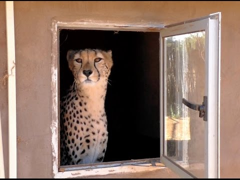 The African Cheetah KISSING BOOTH Fund Raiser - Big Cat Asks For Donations At Breeding Center