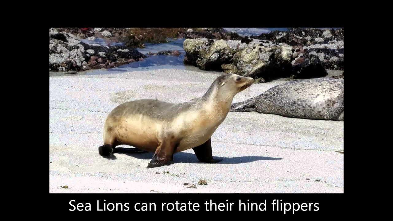 A Few Differences Between Harbor Seals and Sea Lions - YouTube