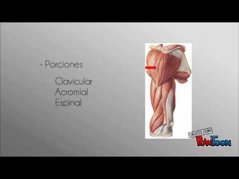 Sistema muscular (brazo) - YouTube