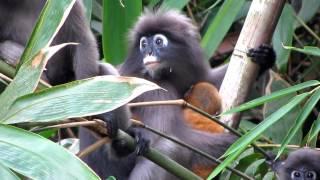 Dusky Leaf Monkey (2)