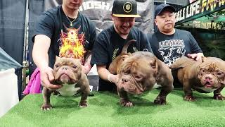 Worlds Smallest Bully the VIRAL TEACUP BULLY BABY SUSHI