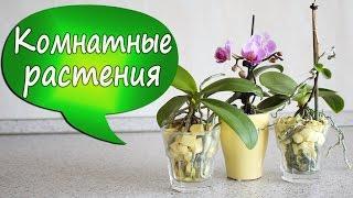 ЧАСТЬ 2: Орхидеи в стекле с пенопластом! Эксперимент: выращивание фаленопсиса без коры/грунта(В этом видео я покажу результаты своего эксперимента по выращиванию мини-орхидей в стеклянных вазах в пено..., 2016-06-18T07:48:31.000Z)