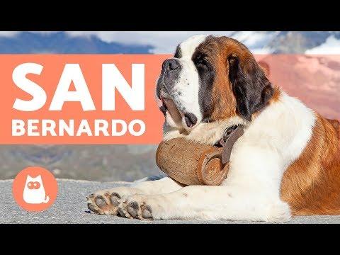 San Bernardo - Perros GIGANTES