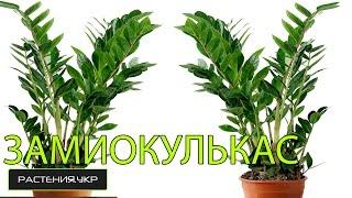 Долларовое дерево / Замиокулькас уход в домашних условиях(Замиокeлькас (лат. Zamioculcas) — монотипный род растений семейства Ароидные (Araceae), представленный единственным..., 2014-10-10T12:01:57.000Z)