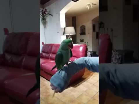 Perroquet Grand Alexandre qui parle et danse