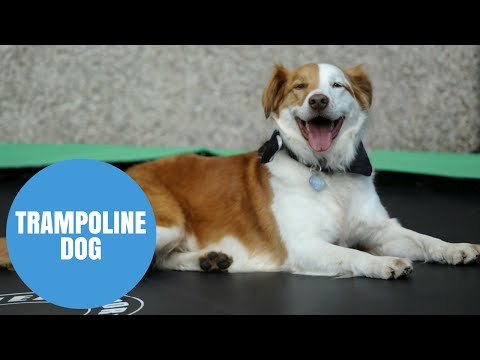 Dog Uses A Trampoline To Escape From A Kennel!