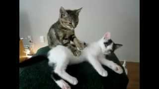 Забавное видео, сеанс массажа у котят.