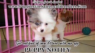 Pomeranian Dog Breed Puppy Free Online Videos Best Movies Tv Shows