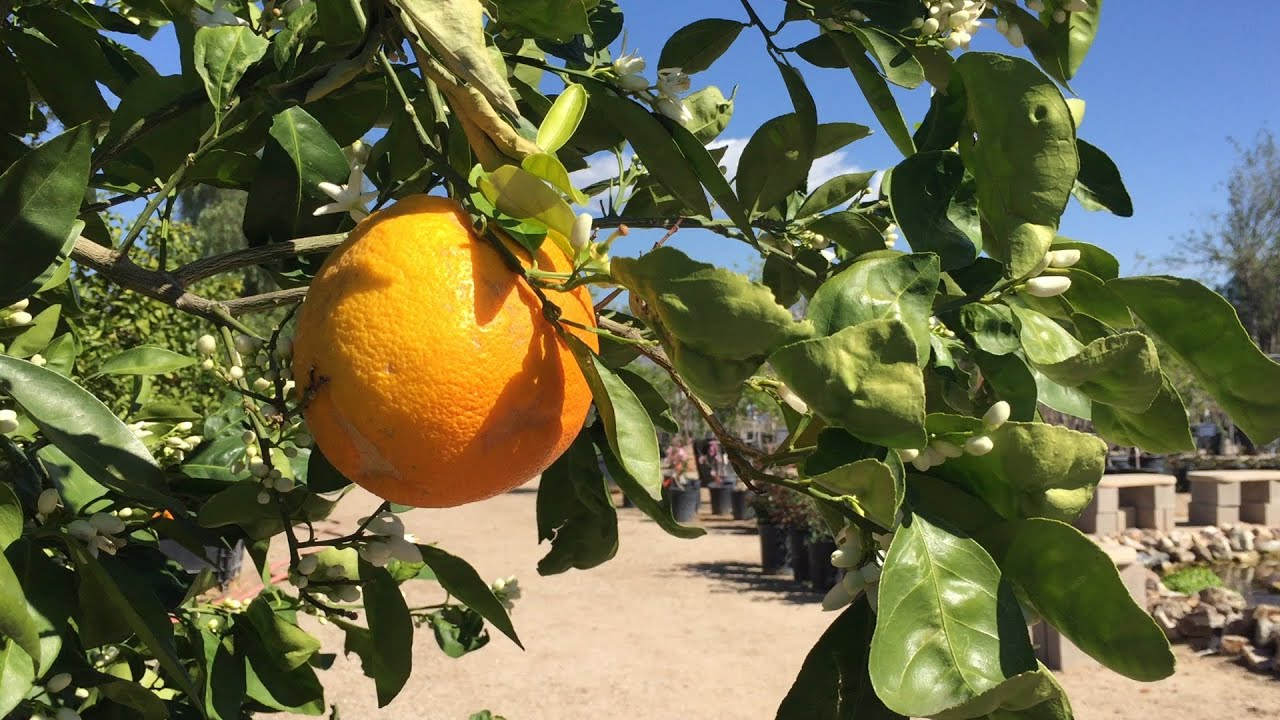 Citrus Tree Pruning Tips