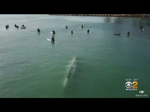 Drone Captures Gray Whale Beneath Surfers
