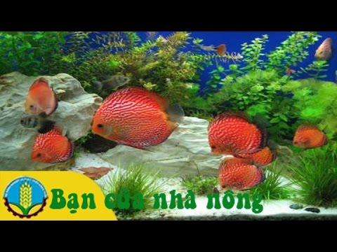 Quy trình, kỹ thuật nuôi cá dĩa sinh sản hiệu quả cao