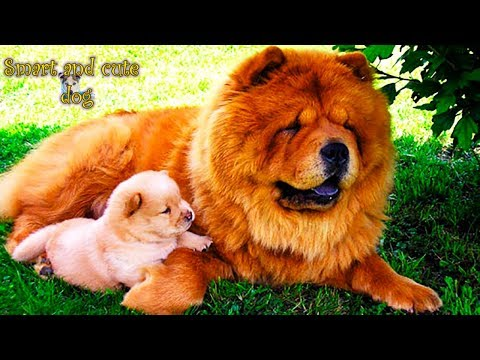Fluffy and Cute Chow Chow Dogs Compilation