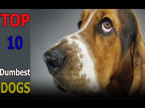 Top 10 dumbest dog breeds | Top 10 animals