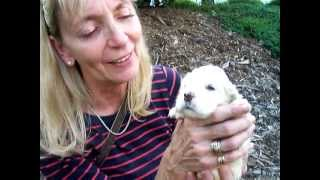 """Indiana """"indy"""": Cocker Spaniel Puppy With Lynn Fortheanimals"""