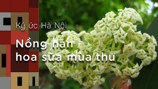 Ký ức Hà Nội: Nồng nàn hoa sữa mùa thu Hà Nội