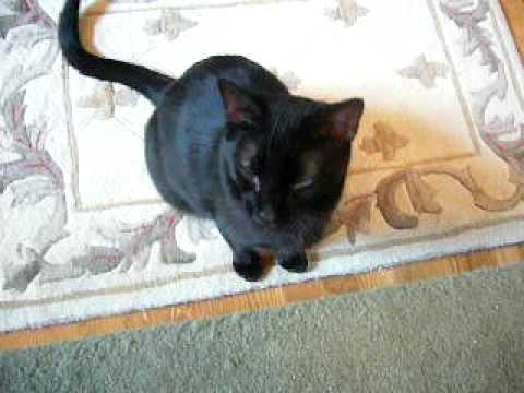 Burmese cat talking and alot of purring