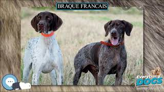 Braque Francais  Everything Dog Breeds