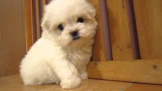 販売中の子犬は下記ホームページまで http://www.pets-hop.com.