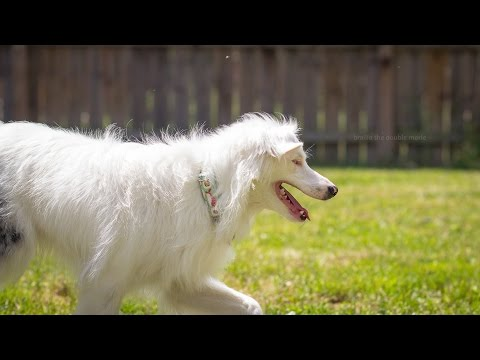 Deaf and Blind Dog Training - Recall With a Vibration Collar