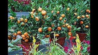 incr vel plante e colha ponkan com 150 dias apenas clone frutifera .