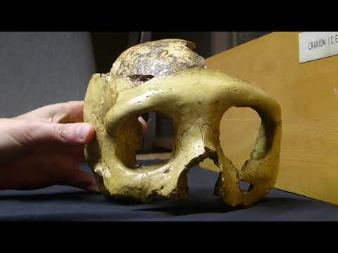 A female Neanderthal skull in Zagreb
