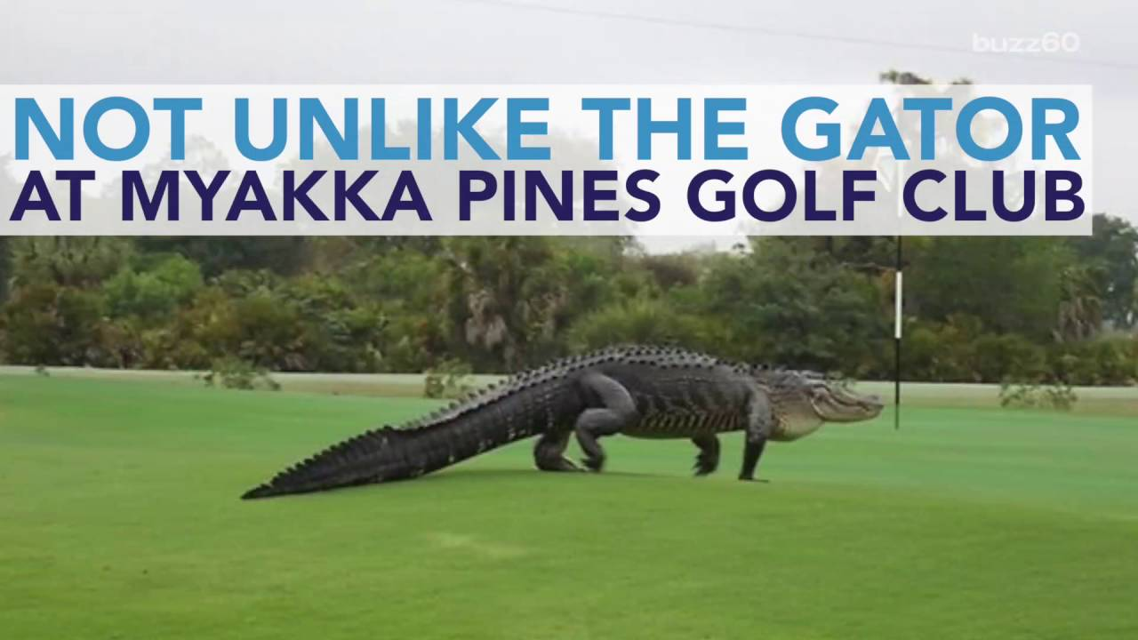 Gigantic Alligator Casually Walks Across Florida Golf Course Youtube