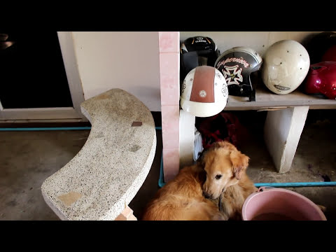 Tick Infested Golden Retriever Neglected And Injured
