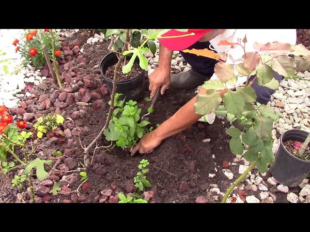 Cách trồng RAU HÚNG LỦI quá đơn giản tại nhà ở Mỹ Spearmint Cach trong rau hung lui