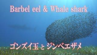 ゴンズイ玉とジンベエザメ Barbel eel and Whale shark ごんずい玉
